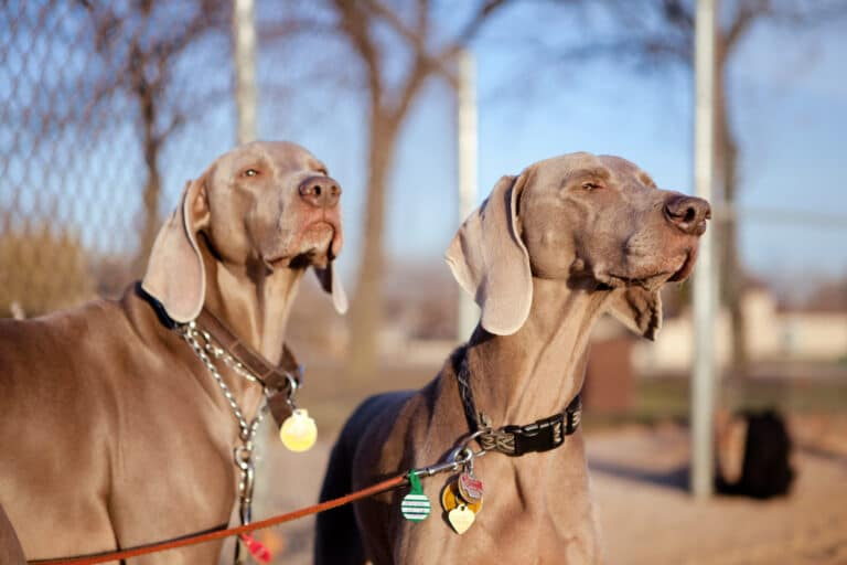 Portrait of two weimaraners in the park