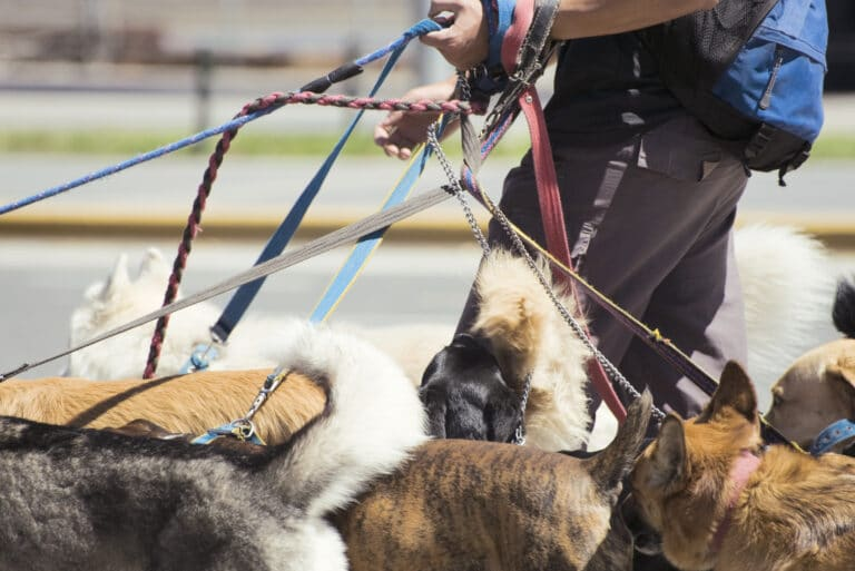 dog walker with tangled leashes